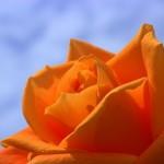 rose-or